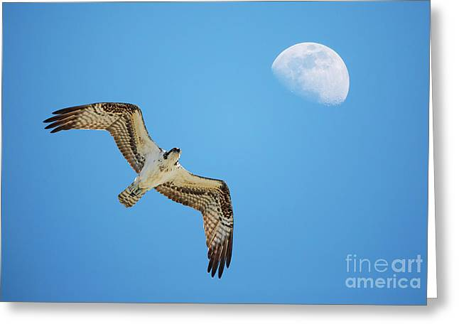 Soaring Osprey And Gibbous Moon Greeting Card