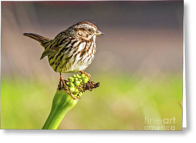 Songster Perching Greeting Card