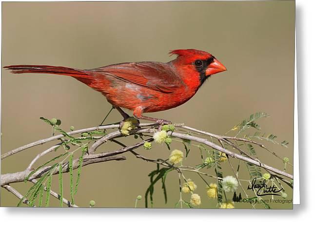 South Texas Cardinal Greeting Card