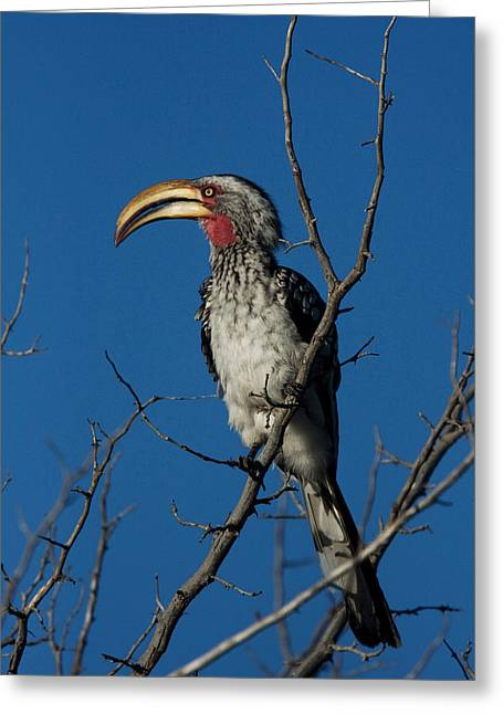 Southern Yellow-billed Hornbill Greeting Card by David Hosking