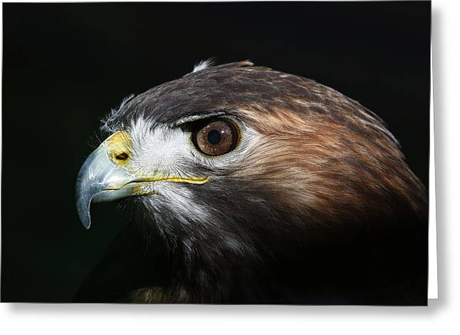 Greeting Card featuring the photograph Sparkle In The Eye - Red-tailed Hawk by Debi Dalio
