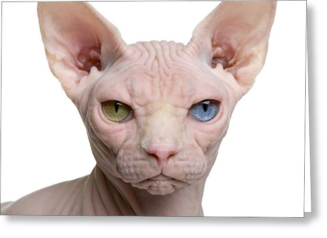 Sphynx Cat, 1 Year Old, In Front Of Greeting Card