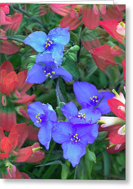 Spiderwort And Paintbrush Flowers, Texas Greeting Card