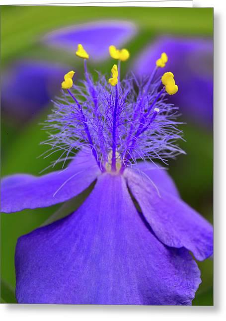 Spiderwort Flower Close-up, Tradescantia Greeting Card