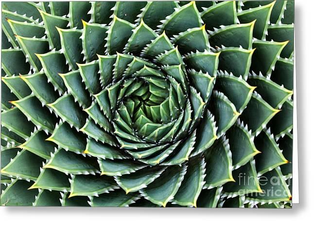 Spiral Aloe-aloe Polyphylla Greeting Card