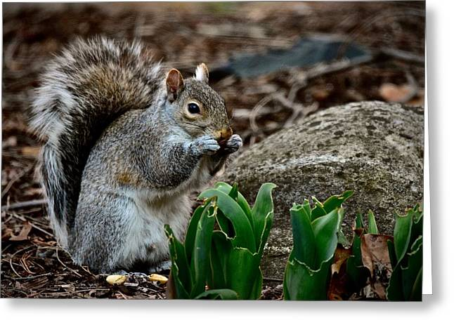 Squirrel And His Dinner Greeting Card