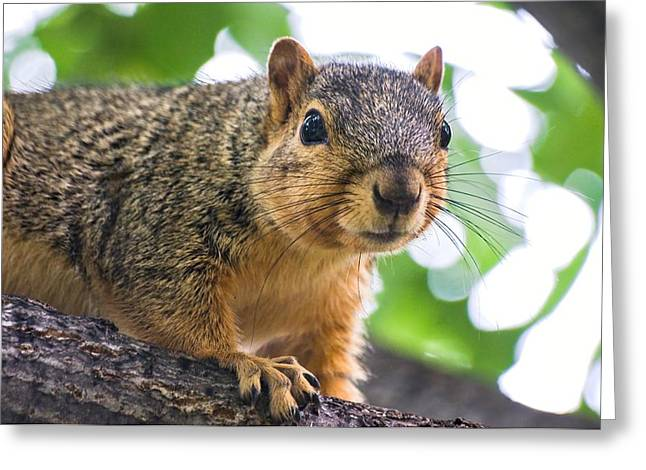 Squirrel Close Up Greeting Card