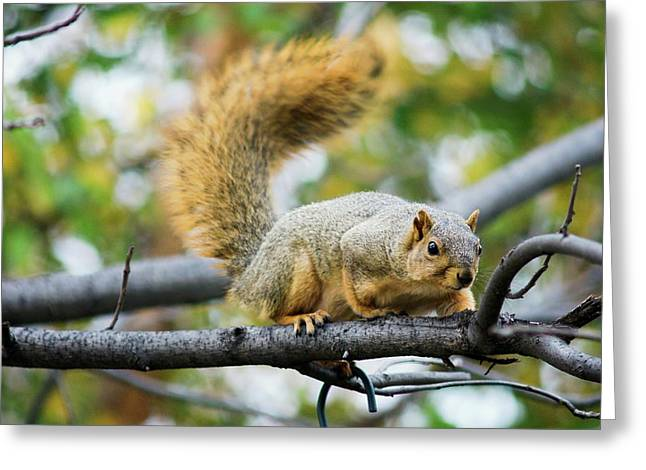 Squirrel Crouching On Tree Limb Greeting Card