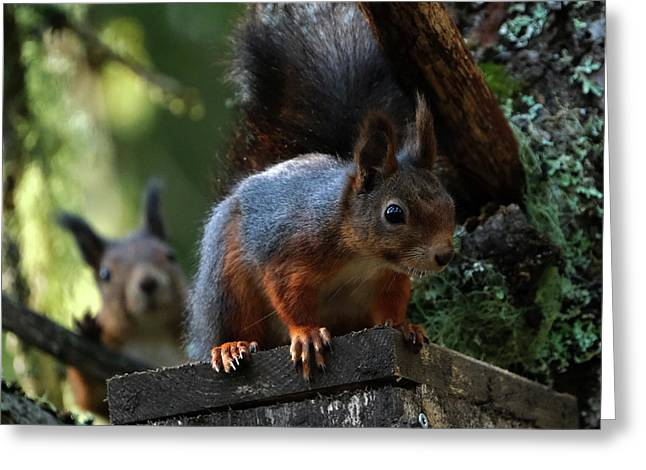 Squirrels Greeting Card