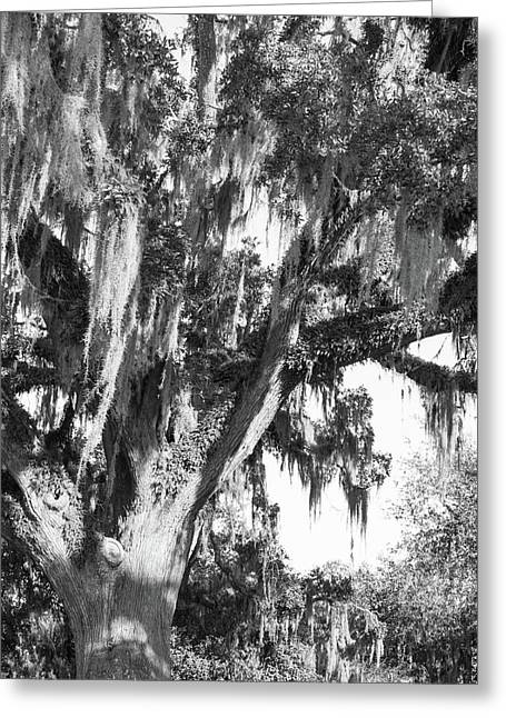 Stately Moss Draped Live Oak Black And White Greeting Card