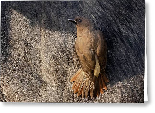 Sub-adult Yellow-billed Oxpecker On Cape Buffalo Greeting Card