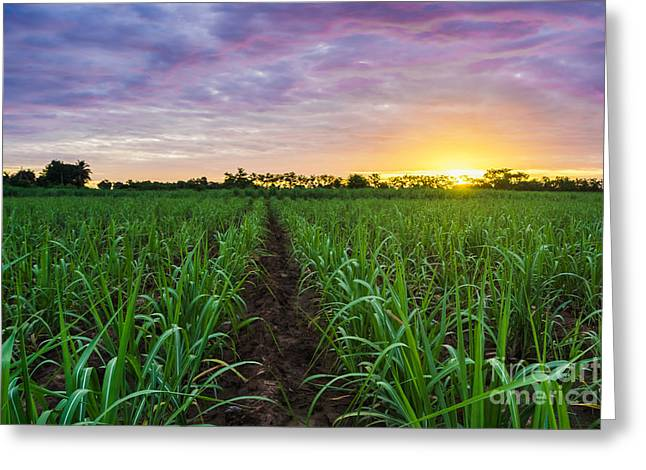 Sugarcane Field At Sunset Greeting Card