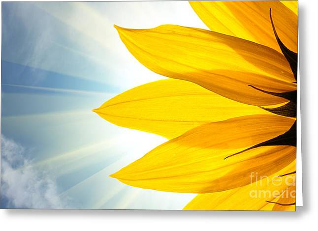 Sunflower Detail Isolated On White Greeting Card