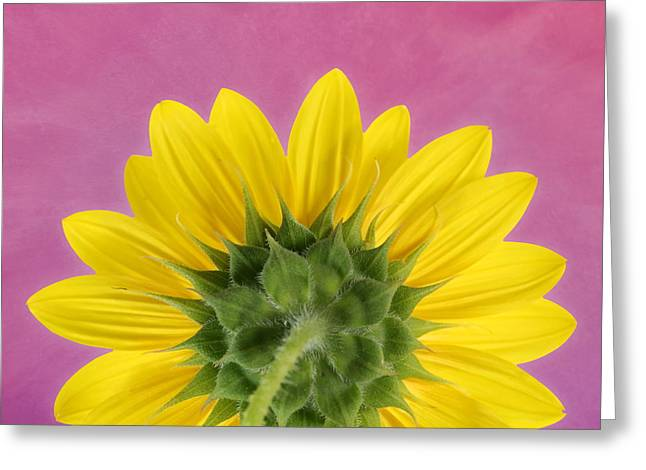 Greeting Card featuring the photograph Sunflower On Pink - Botanical Art By Debi Dalio by Debi Dalio