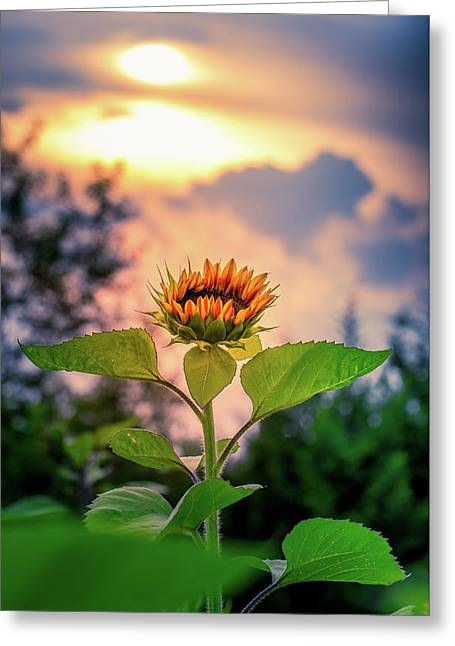 Sunflower Opening To The Light Greeting Card