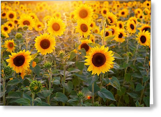 Sunflowers Field Greeting Card