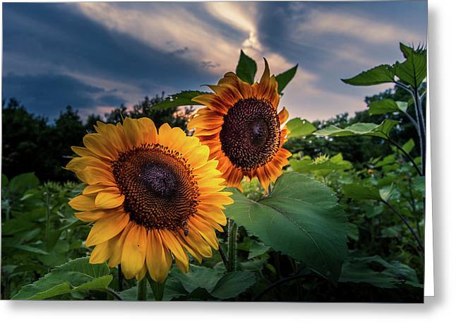 Sunflowers In Evening Greeting Card