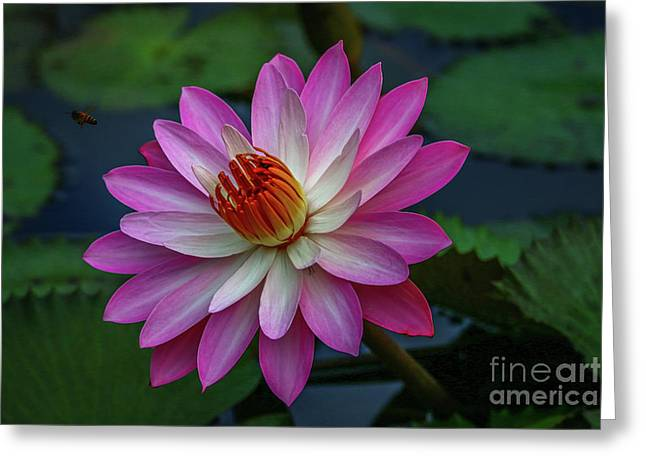 Greeting Card featuring the photograph Sunlit Lily by Tom Claud