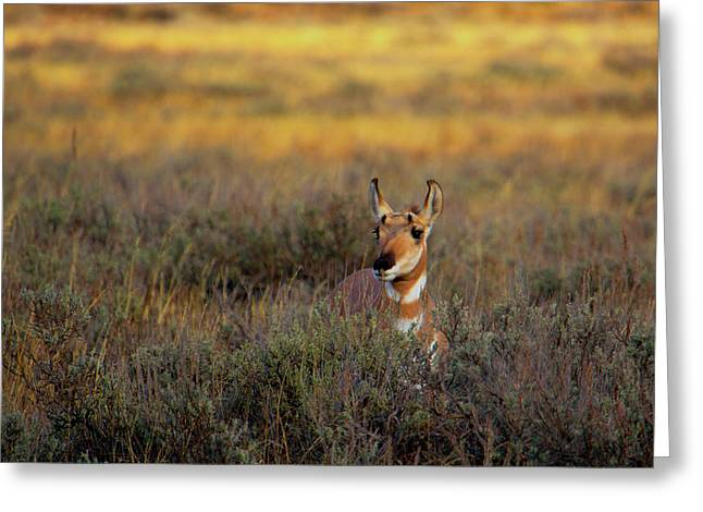 Greeting Card featuring the photograph Sunset Pronghorn by Pete Federico