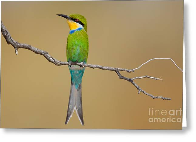Swallow-tailed Bee-eater Merops Greeting Card by Johan Swanepoel