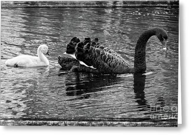 Greeting Card featuring the photograph Swan And Signet by Fran Woods