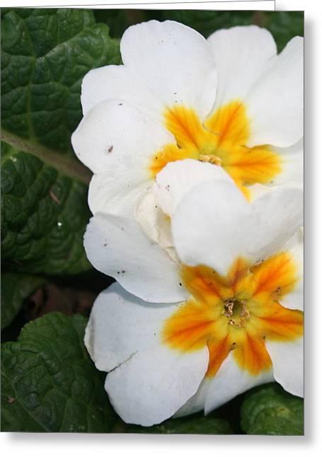 Sweet Primrose Greeting Card
