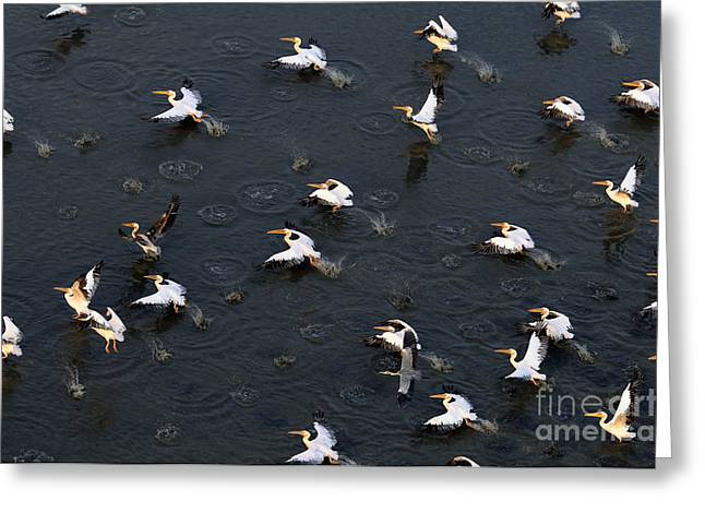 Synchronous Flight Of White Pelicans Greeting Card