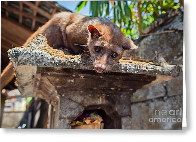 Tame Luwak Sitting On Temple Top - Wild Greeting Card