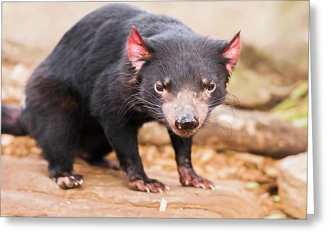 Tasmanian Devil In Hobart, Tasmania Greeting Card
