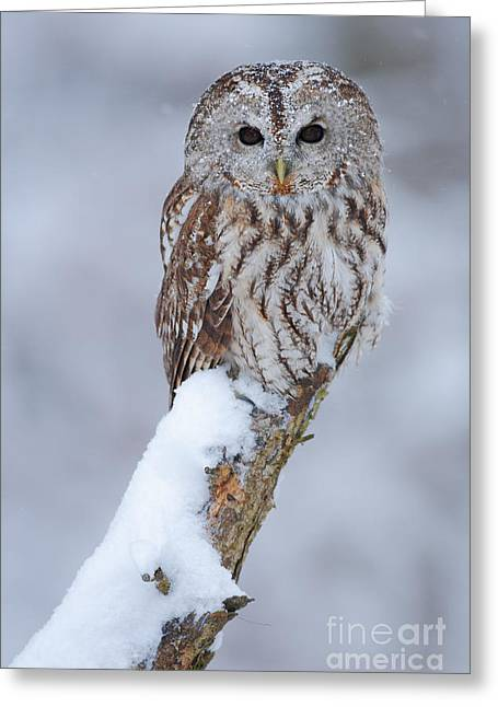Tawny Owl Covered With Snow. Wildlife Greeting Card