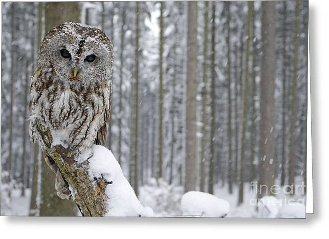 Tawny Owl In Snowfall During Winter Greeting Card