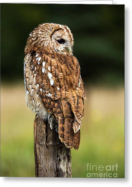 Tawny Owl On Fence Post Against A Dark Greeting Card