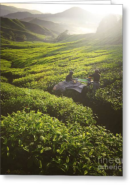 Tea Pickers Agriculture Growth Harvest Greeting Card
