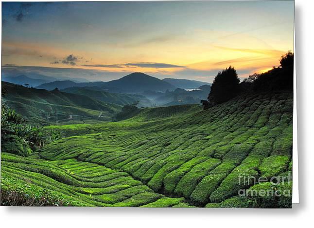 Tea Plantation Cameron Highlands Greeting Card