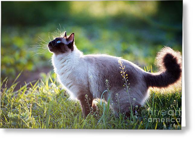The Beautiful Brown Cat, Siamese, With Greeting Card