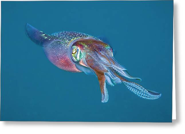 The Caribbean Reef Squid  Sepioteuthis Greeting Card