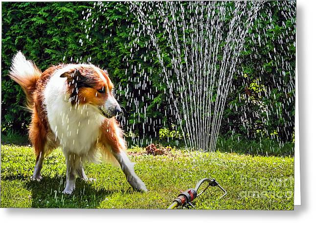 The Collie Is Avoiding The Sprinkler In Greeting Card