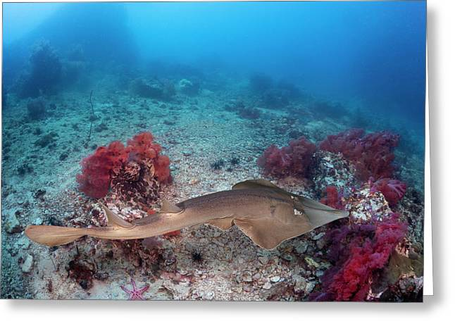 The Common Shovelnose Ray  Glaucostegus Greeting Card