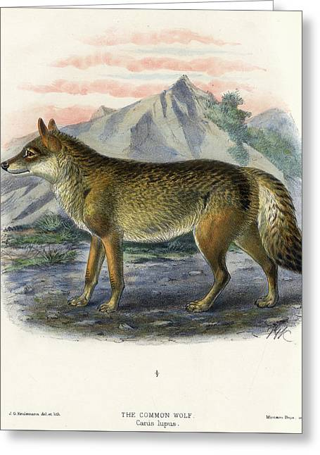 The Common Wolf Greeting Card