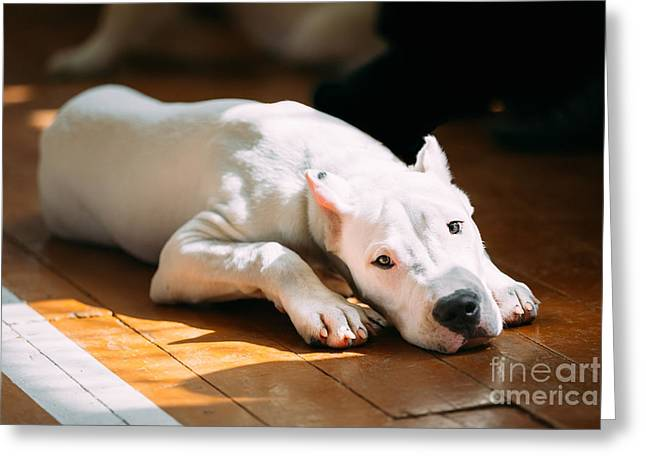 The Dogo Argentino Also Known As The Greeting Card by Grisha Bruev