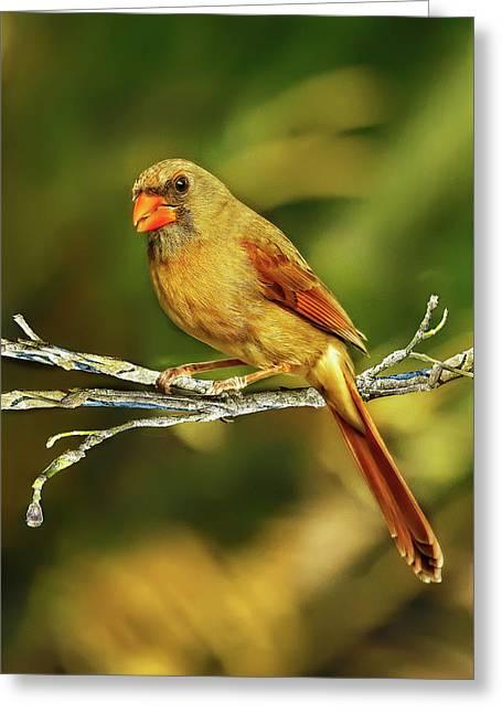 The Female Cardinal Greeting Card