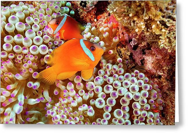 The Fiji Clownfish  Amphiprion Barberi Greeting Card