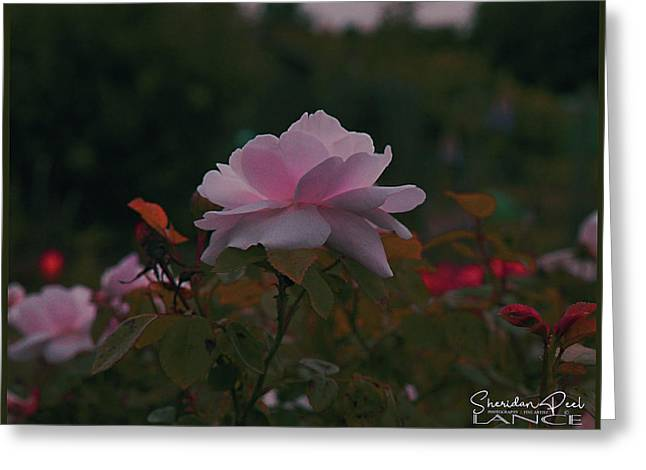 The Glowing Rose Greeting Card