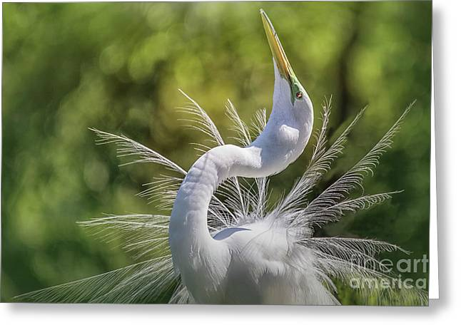 The Great White Egret Mating Dance Greeting Card