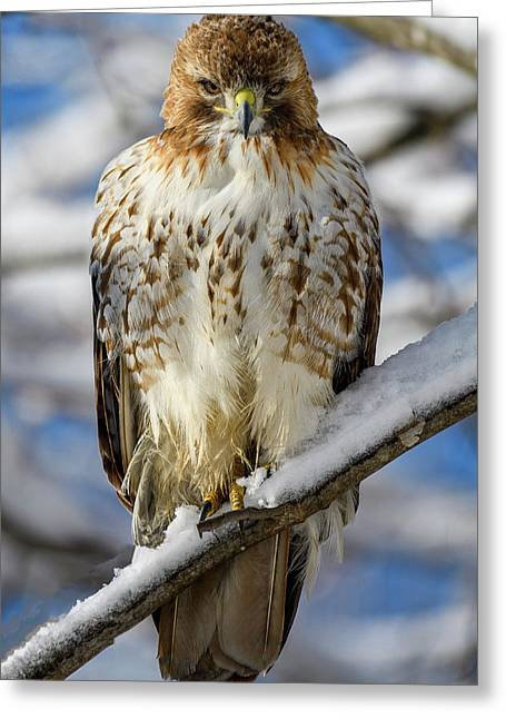 The Look, Red Tailed Hawk 1 Greeting Card