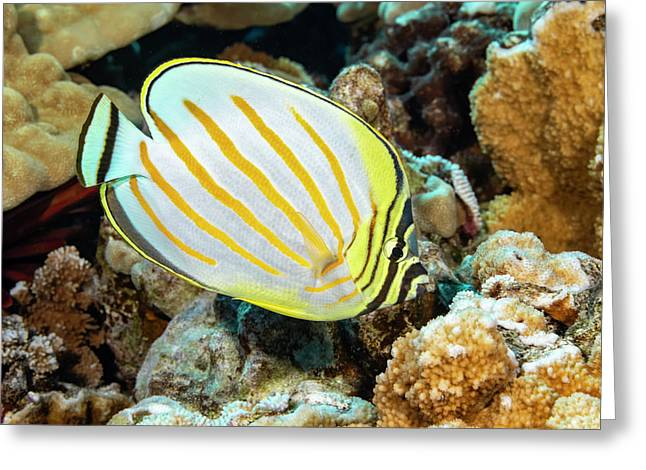 The Ornate Butterflyfish  Chaetodon Greeting Card