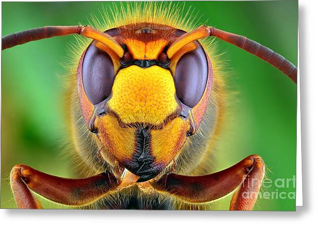 The Picture Shows Hornet Vespa Crabro Greeting Card