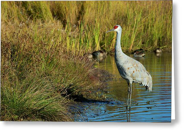 The Sandhill Crane Is A Large North Greeting Card
