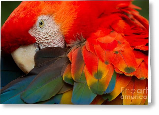 The Scarlet Macaw Is A Large Colorful Greeting Card