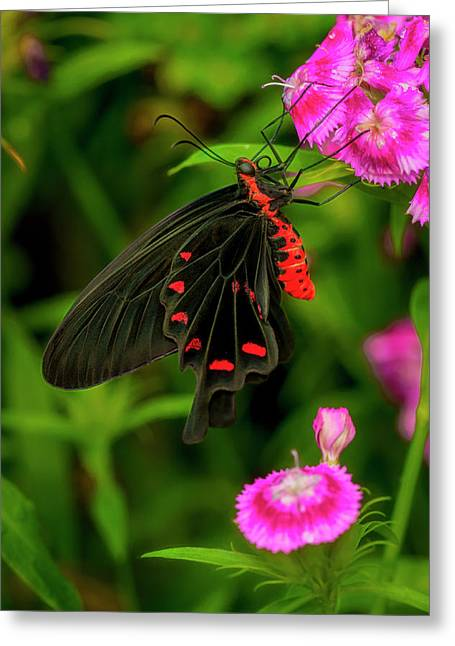 The Semperi Swallowtail Butterfly Greeting Card